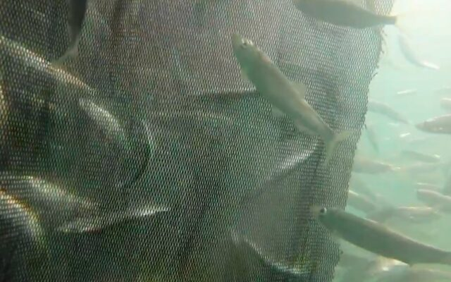 Herring Spawning on Artificial Spawning Nets